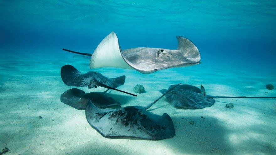 Bony Fish, Skates, Sharks, and Rays