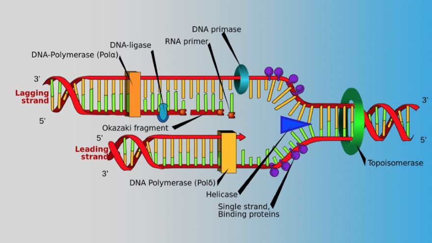 The Nuts and Bolts of Replicating DNA