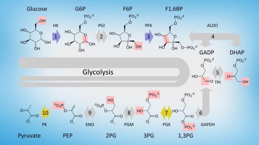 Making ATP-Glycolysis