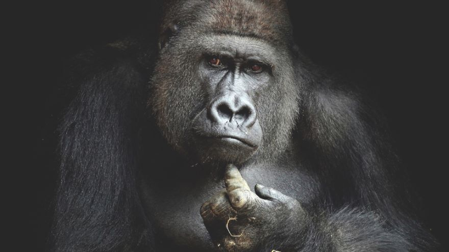 The Mind of the Great Ape