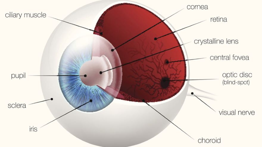 The Visual System-The Eye