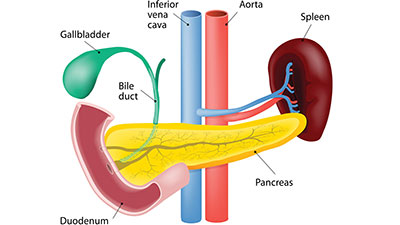 Digestive System-Anatomy of the Pancreas, Liver, and the Biliary Tree
