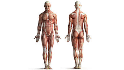 Musculoskeletal System-Physiology and Physics of the Muscles