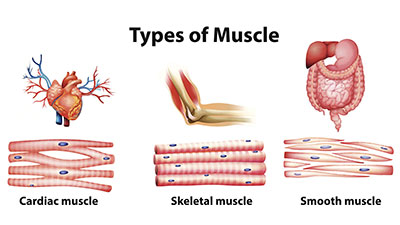 Musculoskeletal System-Anatomy of the Muscles