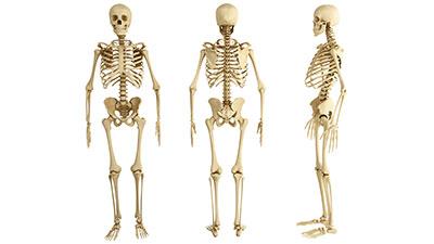 Musculoskeletal System-Bones