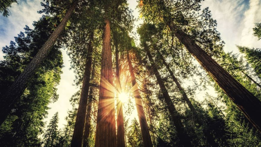 Redwoods, Sequoias, and the Sierra Nevada