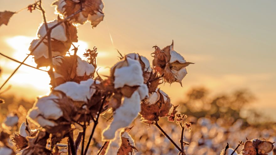 Surviving King Cotton