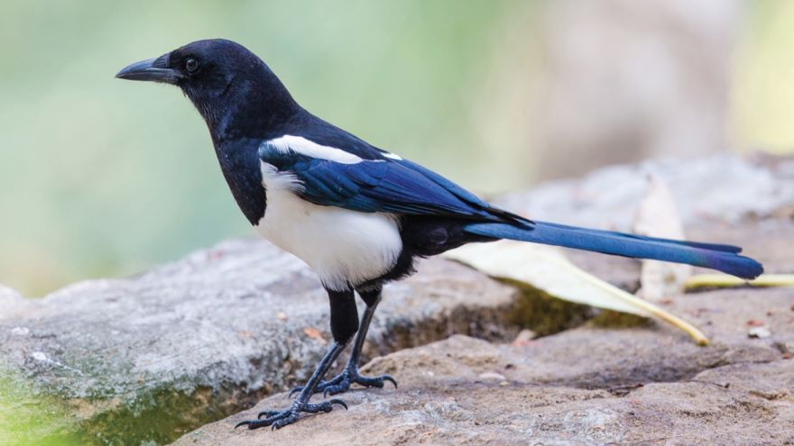 Passerines: From Flycatchers to Thrushes