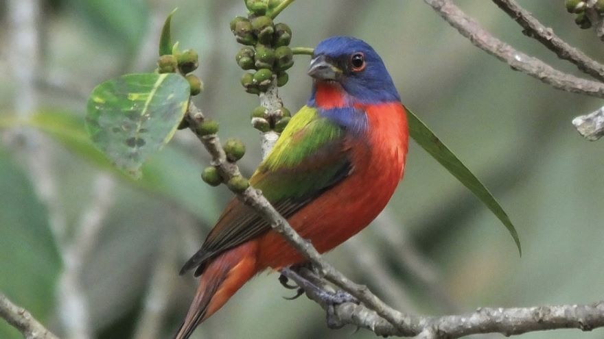 Passerines: From Tanagers to Finches