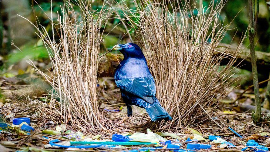 Avian Mating: Singles Bars and Bachelor Pads