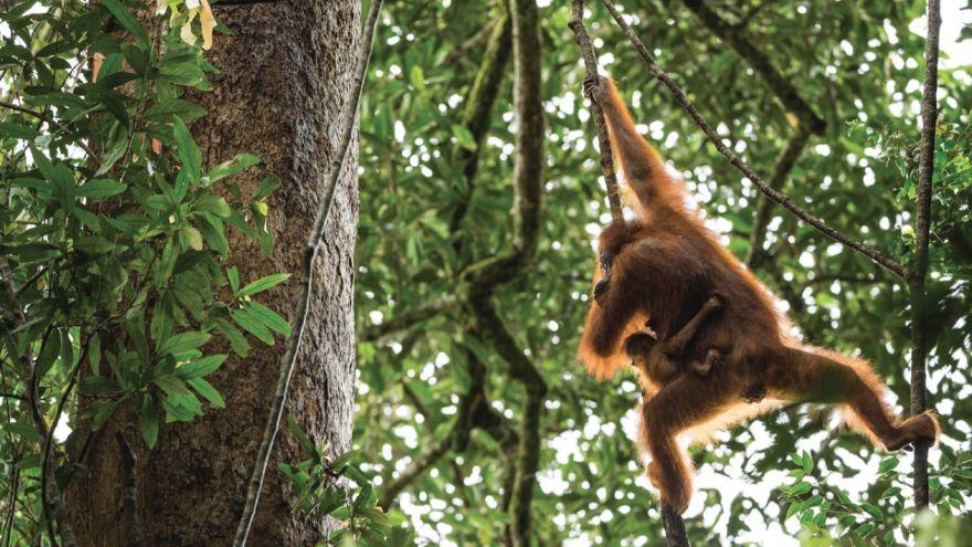 Orangutans: Photographing Animal Communities