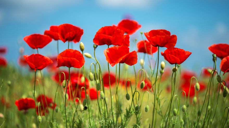 Early Eudicots: Buttercups and Poppies