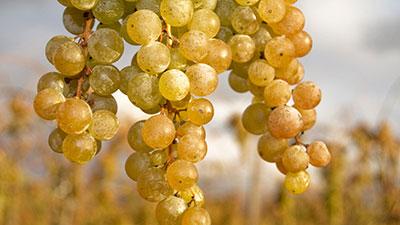 Noble Whites-Sauvignon Blanc and Chardonnay