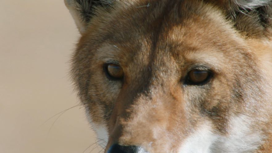 Megeti: Africa's Lost Wolf
