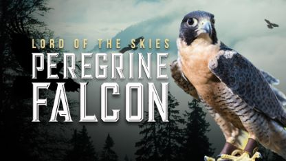 Peregrine Falcon: Lord of the Skies