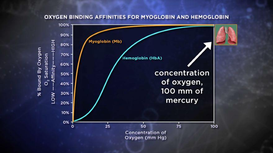 Hemoglobin Function Follows Structure